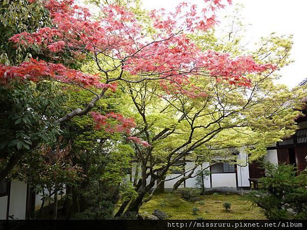 春天的楓紅.JPG