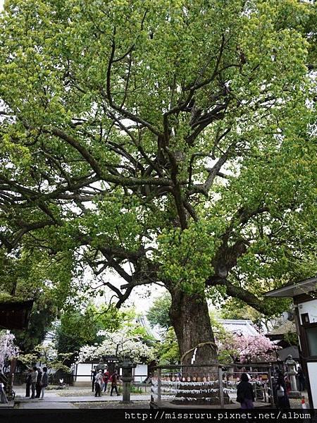 神樹.JPG