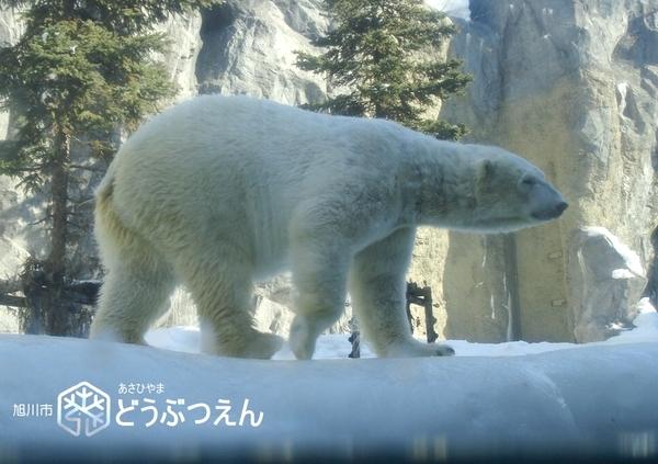 02旭川-旭山zoo07.jpg