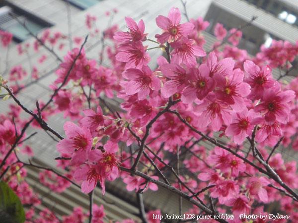 小雨中的櫻花