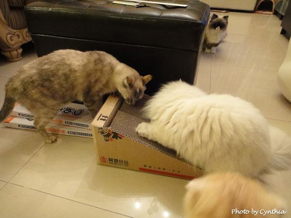 3貓搶貓抓板
