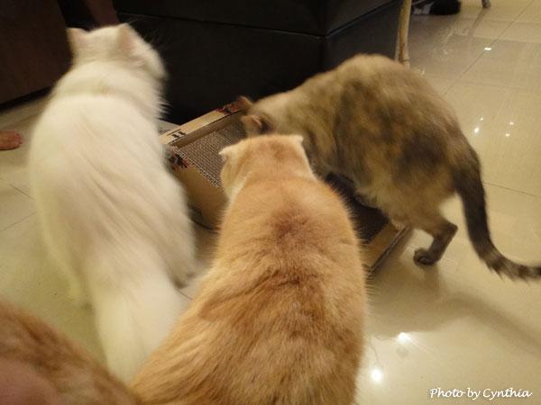 斜坡貓抓板戰局