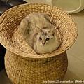 蓮花梗手工編織貓窩10