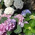 大板根-繡球花1(紫陽花)