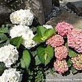 大板根-繡球花2(紫陽花)