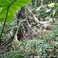 大板根-其他樹種的板根