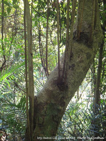 大板根-樹上長出來不知是啥