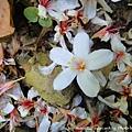 大板根-落在地上的桐花
