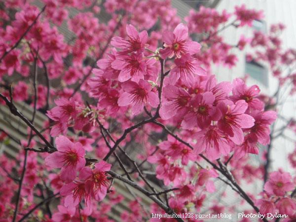一沱沱的櫻花