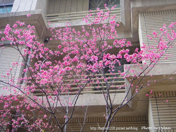 樓下的櫻花
