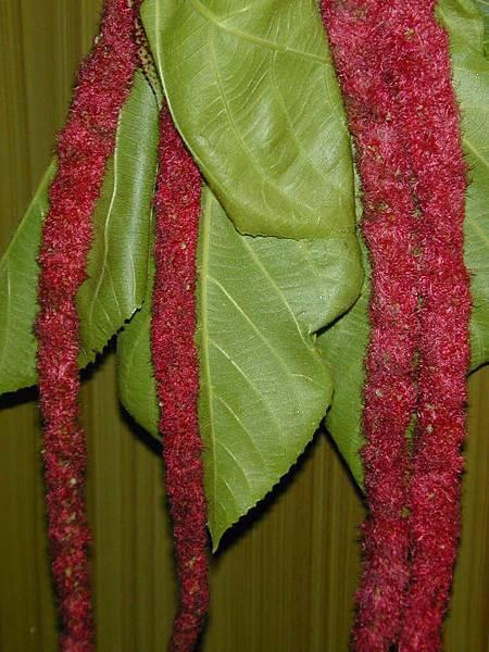 紅花(穗)鐵莧005
