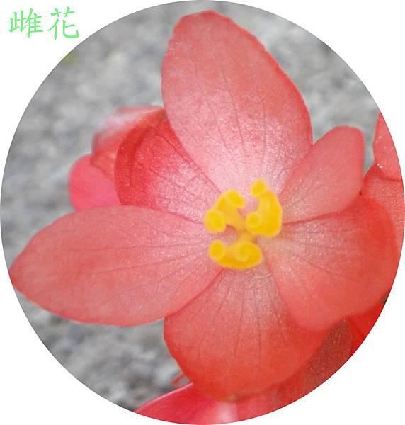 大紅秋海棠0508~37