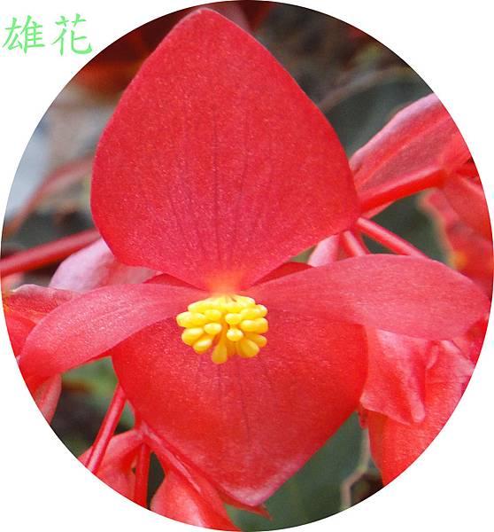 大紅秋海棠0508~38