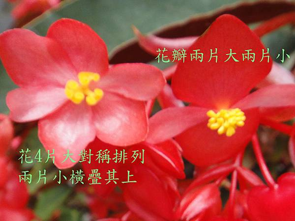 大紅秋海棠0508~05