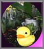 淺黃色小鴨004