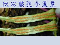 01孢子囊003(伏石蕨)