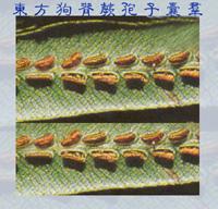 01孢子囊004(東方狗脊蕨)