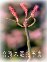 01孢子囊008(台灣木蕨)