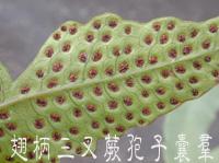 01孢子囊010(翅柄三叉蕨)