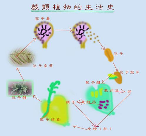 00蕨類植物生活史000