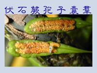 01孢子囊005(伏石蕨)