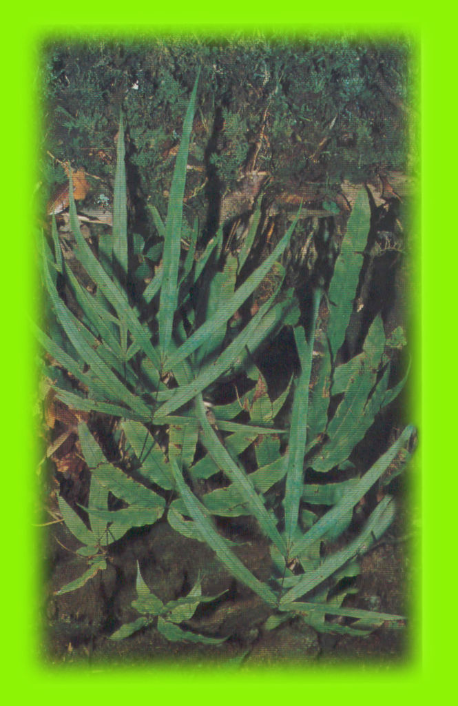 大葉鳳尾蕨