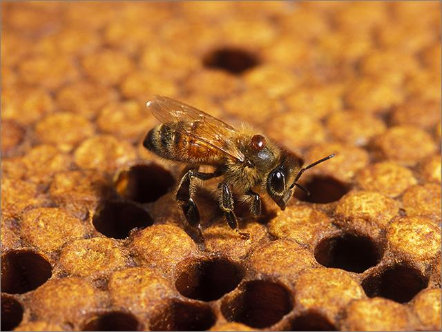 蜂蜜不純砍頭_1.jpg