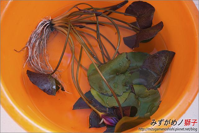 蓮花海砂栽植_39