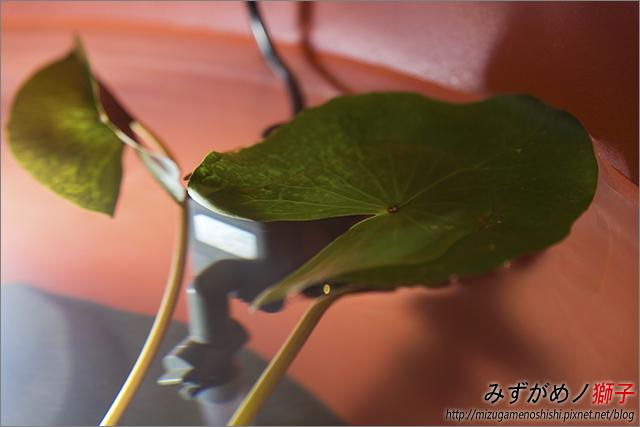 蓮花海砂栽植_52