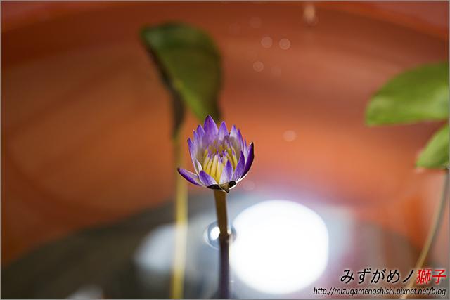蓮花海砂栽植_57