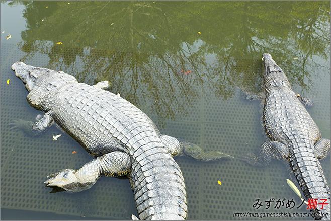 不一樣鱷魚生態農場_23.jpg