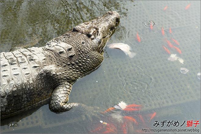 不一樣鱷魚生態農場_22.jpg