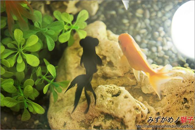 金魚保母_5.jpg