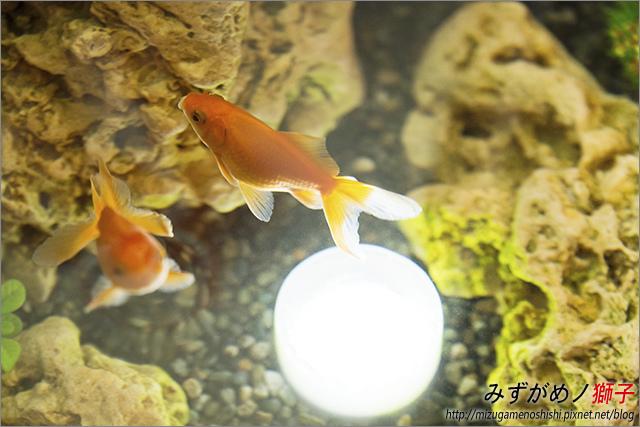 金魚保母_2.jpg