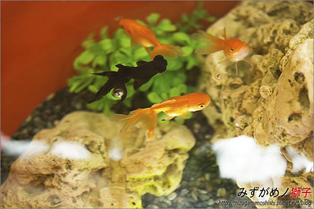金魚保母_6.jpg