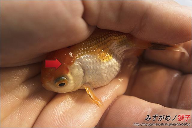 金魚保母_10.jpg
