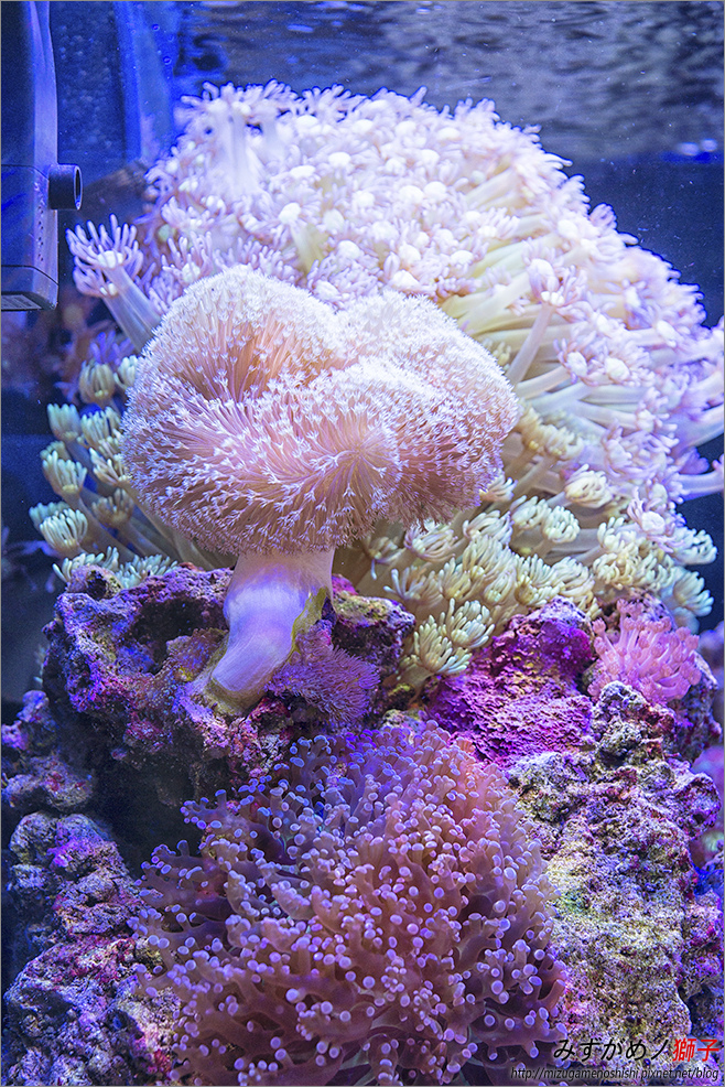 海水缸養水實錄_25.jpg
