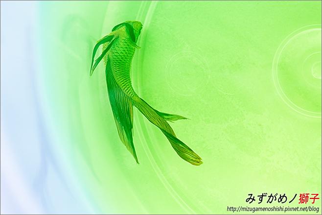 水族的腹水與立鱗病_1.jpg