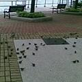 相對來說~麻雀就好一點~因為他們不一定要去捕魚