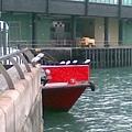 農曆新年後天氣很冷,水鳥都站在岸邊的水警輪上縮著脖子
