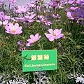 0314 03 銀葉菊