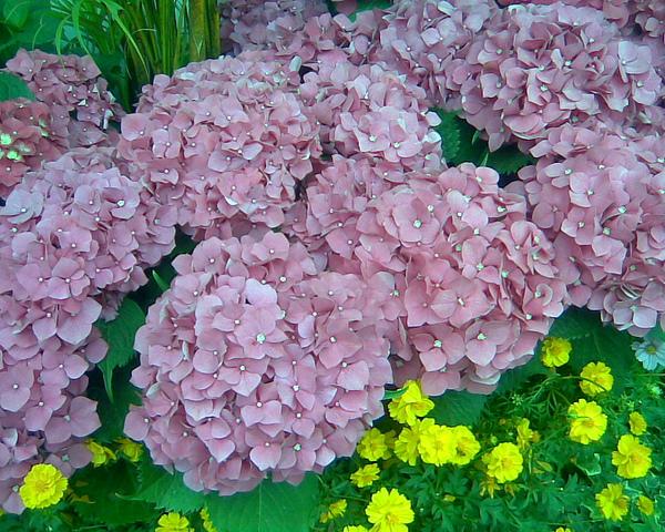 0321 7 繡球花
