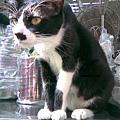 2008/04 鐵製品店貓1