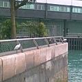 水警輪駛開了,水鳥們就惟有站在圍欄上了~