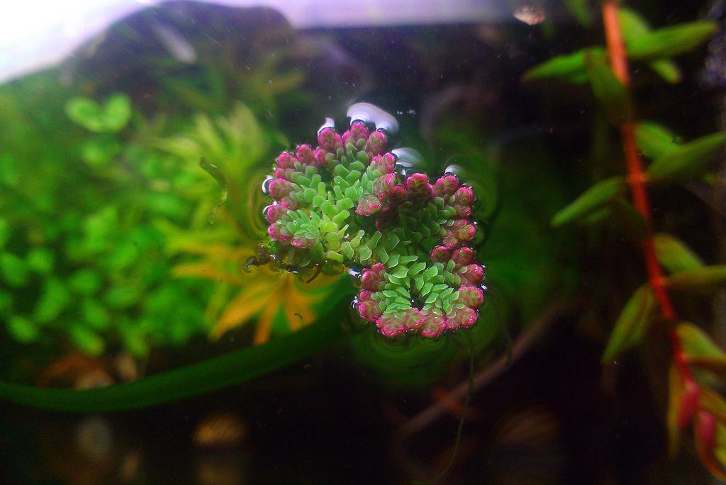 珊瑚浮萍.jpg