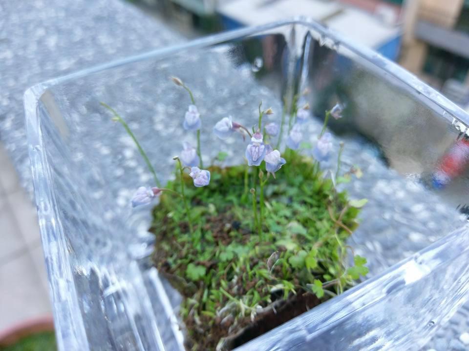 禾葉狸藻3.jpg