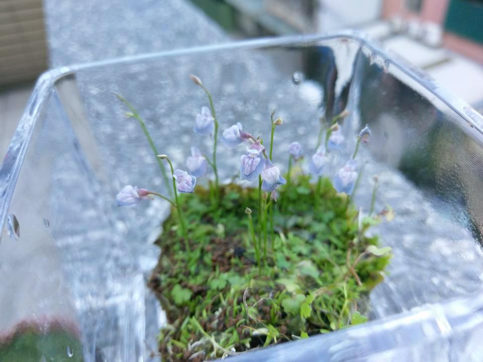 禾葉狸藻4.jpg
