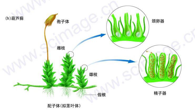 苔蘚植物門.jpg