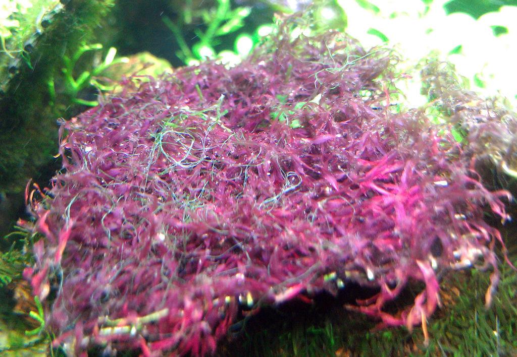 1.紅葉藻科鷓鴣菜屬紅莫絲.jpg