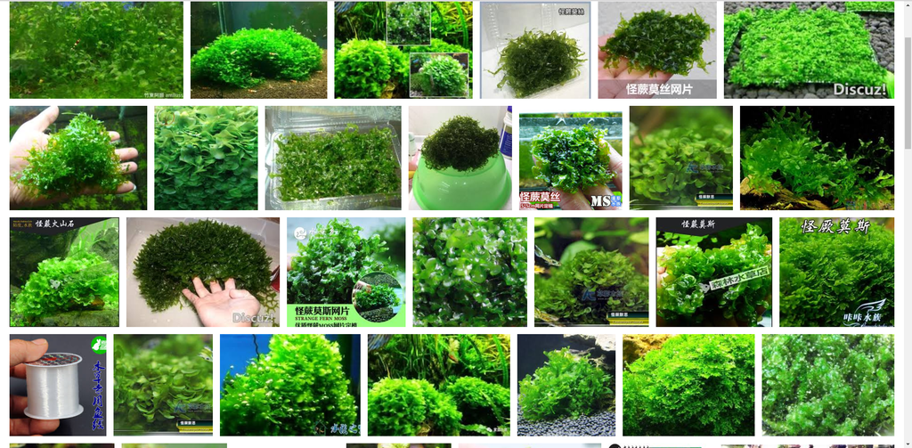 20.蘿蔓藤蕨科藤蕨属怪蕨.png